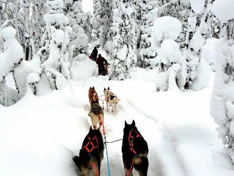 KFN10W_Husky Dog-resize